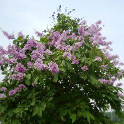 Cây Bằng Lăngnướclà loài bằng lăng hoa tím ở vùng nhiệt đới đã được dùng trong y học ở châu Mỹ
