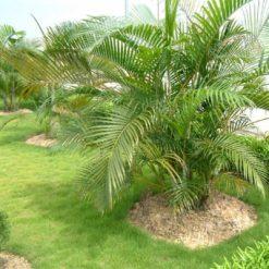 Cây Cau Vàngcó nguồn gốc từ các đảo Moorris và Reeunion
