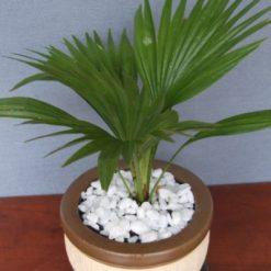 Cây Cọ Nhậtlà một trong những loại cây có tác dụng cải thiện chất lượng không khí trong nhà tốt nhất.Cọ Nhậtgiúp làm sạch bầu không khí khỏi các hóa chất như ammonia và tránh côn trùng.