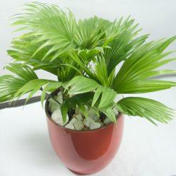 Cây Cọ Tàumột trong những loài cây cảnh quan đô thị thân cột thuộc họ Cau (Arecaceae) hiện hữu lâu đời ở nhiều tỉnh thành nước ta là Cây Cọ Tàu.Cây Cọ Tàulà một trong những loài thân cột được chọn trồng làm cảnh
