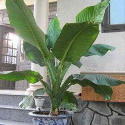 Cây Đại Phú có lá to màu xanh thẫm. Thân cây to và nhiều nước. Cây đã dưỡng lâu trong chậu nên sẽ bền và đẹp hơn. Làm cây cảnh văn phòng rất bền và đẹp. Cây ưa thích ánh sáng bán phần
