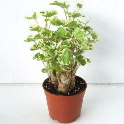 Cây Đinh Lăngcòn được gọi là cây gỏi cá