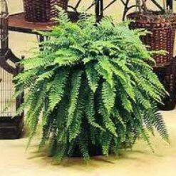 Cây dương xỉ là loại cây cảnh có khả năng hấp thu Aldehyde formic
