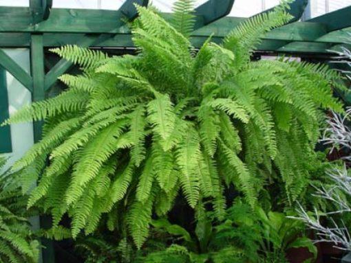 cây dương xỉ còn có thể ức chế xylen và toluene tỏa ra từ máy vi tính và máy in. Chúng ta sẽ có được môi trường sống trong lành khi bài trí cây dương xỉ trong nhà bởi tác dụng làm sạch không khí của nó.