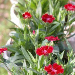 Hoa Cẩm Chướngthơm thuộc họ Caryophyllaceae