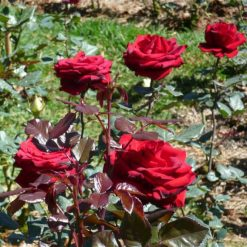 Hoa Hồngđợc coi là biểu tượng của tình yêu và hạnh phúc