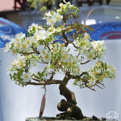 CâyMai Trắng (Bạch Mai) cùng họ với Hoa Mai Vàng