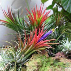 """Cây Không Khí """"Airplants / Tillandsia"""" có hoa đẹp"""