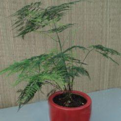 CâyKim Thủy Tùng thuộc loại cây bụi nhỏ