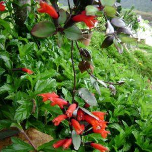cây ra hoa theo hình giống thỏi son nên gọi là cây son môi