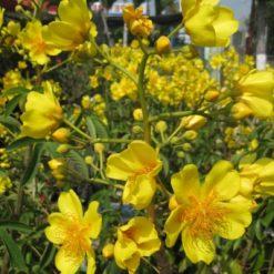 Mai Hoa Đăngcũng trổ hoa vào dịp tết. Cây trổ hoa tự nhiên không tác động vào bộ lá