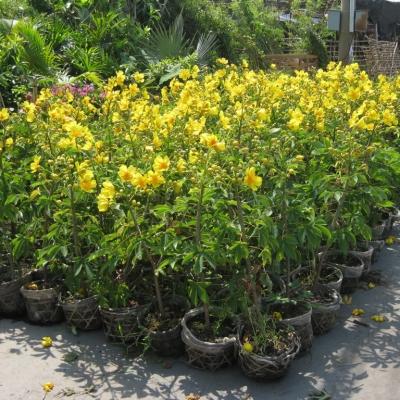 đến giữa tháng 12 trên những đọt Huỳnh Hoa sẽ nhú những chùm bông xanh mang nhiều hoa. Và đến ngày 18 – 20 tháng chạp hoa nở những bông đầu tiên và nở dài cho đến gần hết tháng giêng.
