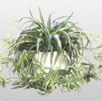 cây được gây trồng ở rất nhiều nước châu Á. Việt Nam đã gây trồng làm cảnhloài này từ lâu đời và trên khắp mọi miền đất nước.
