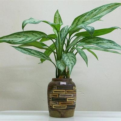 Tên khoa học: Chinese Evergreen