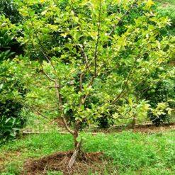 Cây Ổi (danh pháp khoa học: Psidium guajava) là loài cây ăn quả thường xanh lâu năm