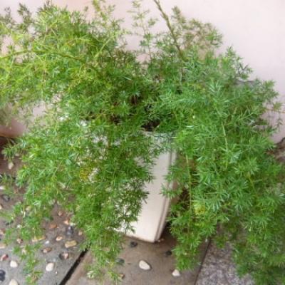CâyThiên Môn Đông có tên khoa học là Asparagus desiflorus Sprengeri thuộc giống họ Huệ Tây. Trúc Thiên Môn thuộc cây thân thảo