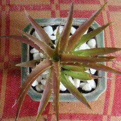 Cây Xương Rồng Dứa Đỏvà cây mọng nước nói chung là những cây tương đối dễ trồng và dễ chăm sóc hơn các loại cây kiểng khác vì bản thân chúng là những loại thực vật dễ thích nghi