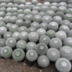 Cây Xương Rồngvà cây mọng nước nói chung là những cây tương đối dễ trồng và dễ chăm sóc hơn các loại cây kiểng khác vì bản thân chúng là những loại thực vật dễ thích nghi