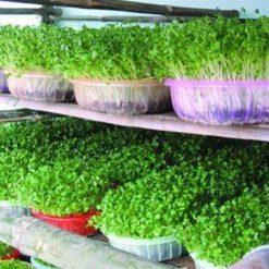 Đất Sạchđược dùng để trồng rau sạch