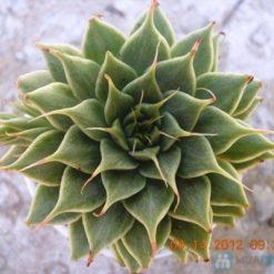 Sen ĐáKim là loài cây lâu năm